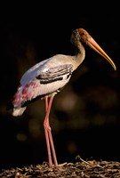 Painted Stork, Bharatpur, Keoladeo National Park, Rajasthan, India Fine Art Print