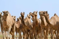Camels in the desert, Pushkar, Rajasthan, India Fine Art Print