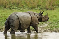 One-horned Rhinoceros, coming out of jungle pond, Kaziranga NP, India Fine Art Print