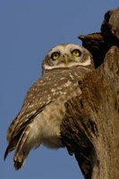 Spotted Owlet bird, Bharatpur NP, Rajasthan. INDIA Fine Art Print
