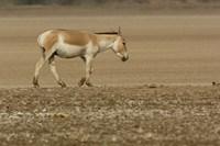 Asiatic Wild Ass, Donkey, Gujarat, INDIA Fine Art Print