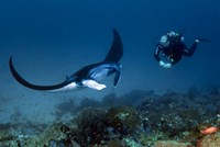 Manta ray swims past scuba diver, Komodo NP, Indonesia Fine Art Print