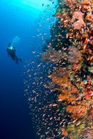 Diver with light next to vertical reef formation, Pantar Island, Indonesia Fine Art Print