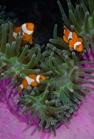 Clownfish swim among anemone tentacles, Raja Ampat, Indonesia Fine Art Print