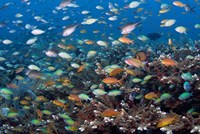 Sea of fish and coral, Raja Ampat, Papua, Indonesia Fine Art Print