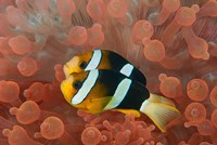Two anemonefish in protective anemone, Raja Ampat, Papua, Indonesia Fine Art Print