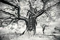 Portrait of a Tree, Study 2 Fine Art Print