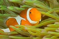 False Clown Anemonefish, Raja Ampat Region of Papua, Indonesia Fine Art Print