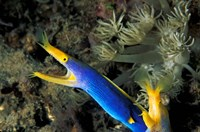Indonesia, Sulawesi, Blue ribbon eel marine life Fine Art Print