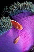 Anemonefish swimming in anemone tent, Indonesia Fine Art Print