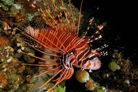Indonesia, Sulawesi, Spotfin lionfish Fine Art Print