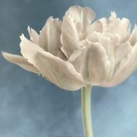 White Tulip I Fine Art Print