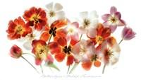 Tulip Panorama Fine Art Print