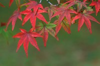 Maple Leaves, Kyoto, Japan Fine Art Print