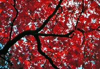 Japan, Honshu, Tochigi, Nikko, Scarlet maple tree Fine Art Print