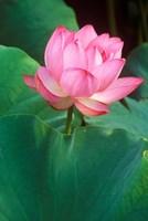 Ohga Lotus, Sankei-en Garden, Yokohama, Japan Fine Art Print