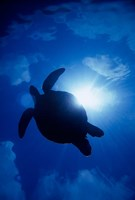 Sea Turtle Underwater, Sipadan Island South Point, Malaysia Fine Art Print