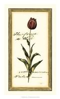 Jen's Tulip II Framed Print