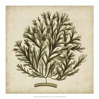 Vintage Seaweed I Fine Art Print