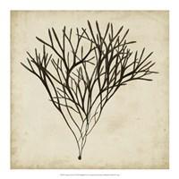 Vintage Seaweed V Fine Art Print