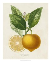 French Lemon Botanical III Framed Print