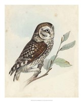 Meyer Little Owl Fine Art Print