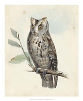 Meyer Scops-Eared Owl Fine Art Print