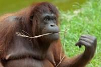 Bornean Orangutan, adult female, Borneo Fine Art Print