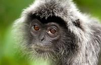 Silver Leaf Monkey, Borneo, Malaysia Fine Art Print