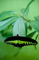 Rajah Brooke's Birdwing, Malaysia's national butterfly Fine Art Print