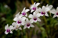 Singapore. National Orchid Garden - White Orchids Fine Art Print