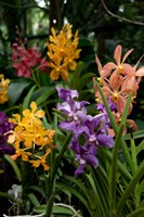 Singapore. National Orchid Garden - Multi colored Orchids Fine Art Print