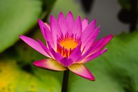 Single magenta water lily at the Orchid Garden at Lake Gardens Park in Kuala Lumpur Malaysia Fine Art Print