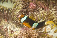 Clark's Anemonefish, Philippines Fine Art Print