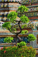 Bonsai tree in front of chedi, Wat Pho, Bangkok, Thailand Fine Art Print