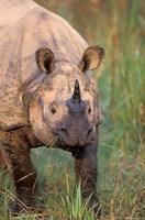 Asia, Nepal, Royal Chitwan NP. Indian rhinoceros Fine Art Print