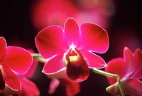 Malaysia, Orchid Fine Art Print