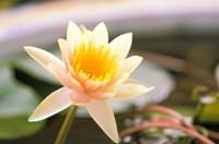 Water Lily flower, Ayuthaya, Thailand Fine Art Print