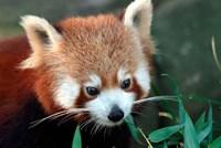 Red Panda, Taronga Zoo, Sydney, Australia Fine Art Print