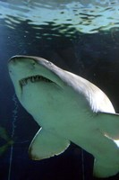 Shark at Manly Aquarium, Sydney, Australia Fine Art Print