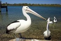 Australian Pelican, Australia Fine Art Print