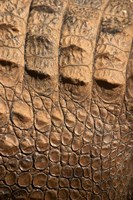 Detail of Crocodile Skin, Australia Fine Art Print