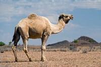 Camel near Stuart Highway, Outback, Northern Territory, Australia Fine Art Print