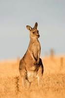 Eastern Grey Kangaroo portrait during sunset Fine Art Print