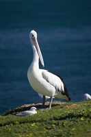 Australian Pelican bird, Blacksmiths, Australia Fine Art Print