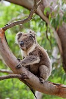 Koala wildlife in tree, Australia Fine Art Print