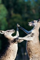 Pair of Eastern grey kangaroo, Australia Fine Art Print