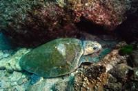 Loggerhead Turtle, Stradbroke Queensland, Australia Fine Art Print