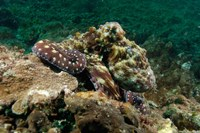 Marine Life, Octopus, coral reef, Stradbroke, Australia Fine Art Print