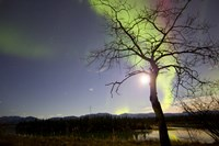 Aurora Borealis with Tree and Pleiades, Yukon, Canada Fine Art Print